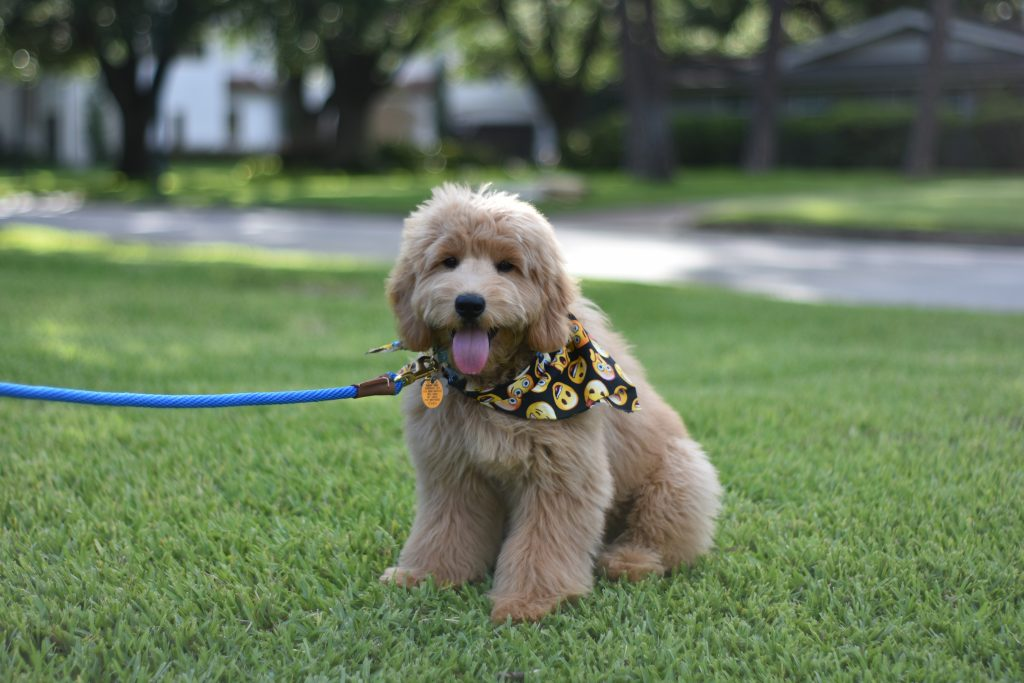 Theodore Mini Goldendoodle New Puppy Checklist Tips Annabel Gatto