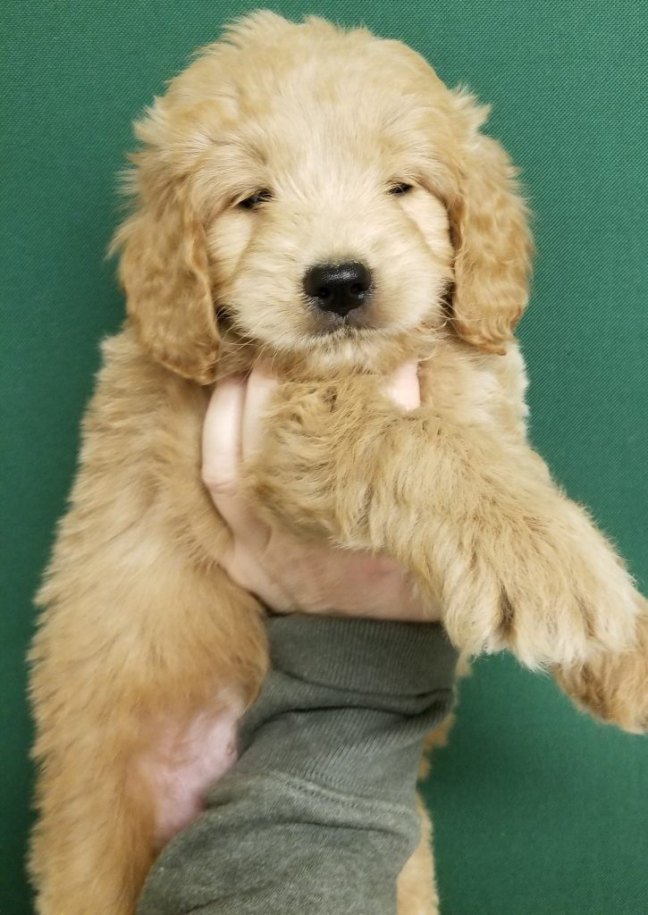 mini goldendoodle, f1 mini goldendoodle, cute goldendoodle puppy, mini goldendoodle puppy